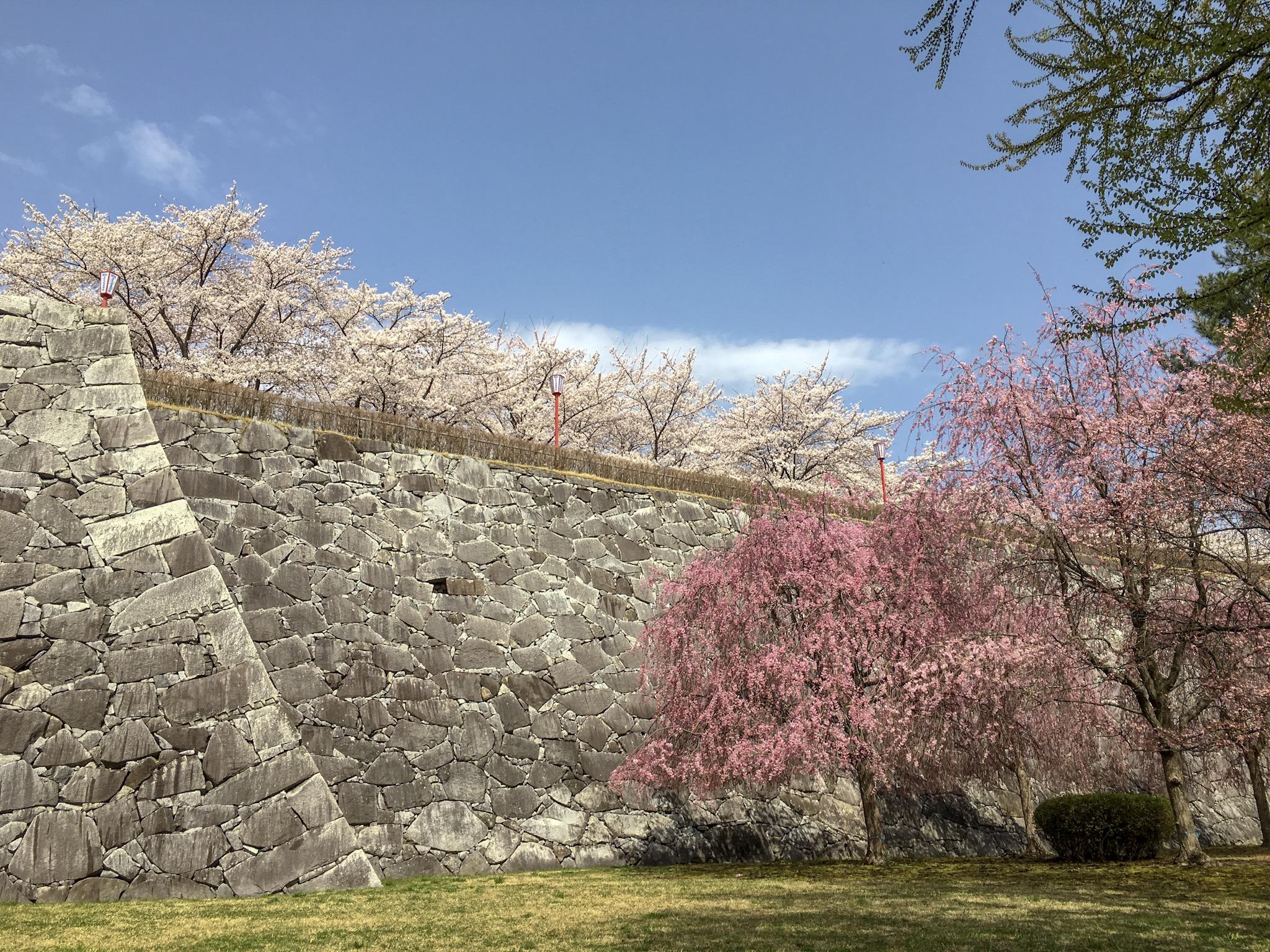 2019盛岡城跡公園桜2